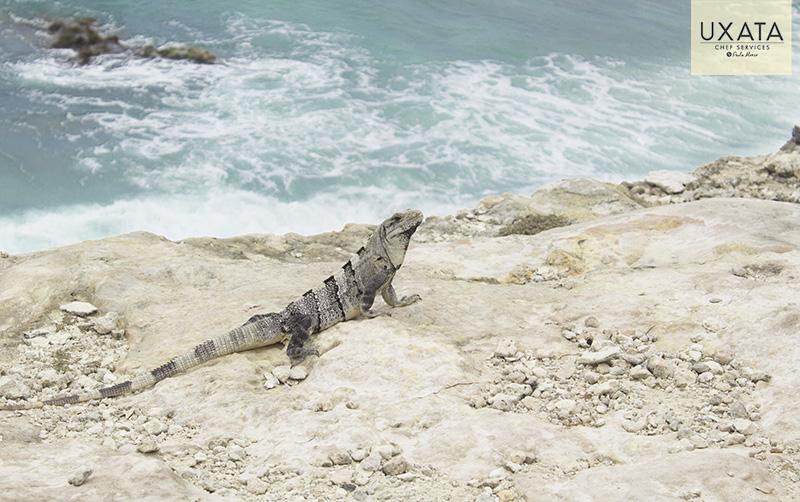 Iguana, white sand beach, and the caribbean sea