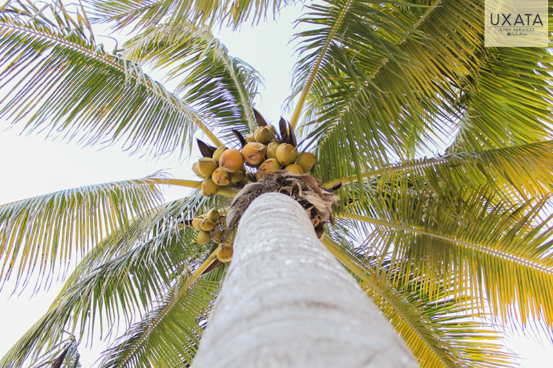 low angle image of a coconut tree with ripe coconuts